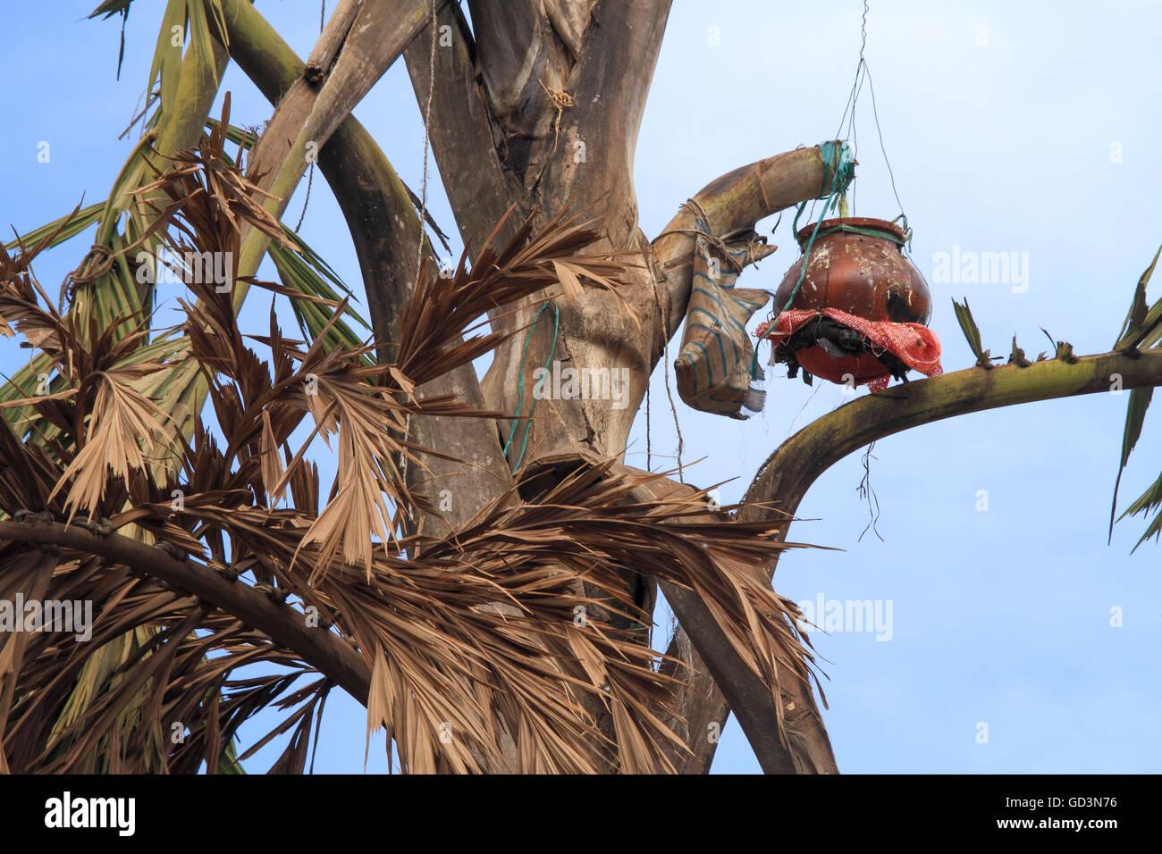 Salfi tree produces milky liquid, bastar, chhattisgarh, india, asia - Stock Image