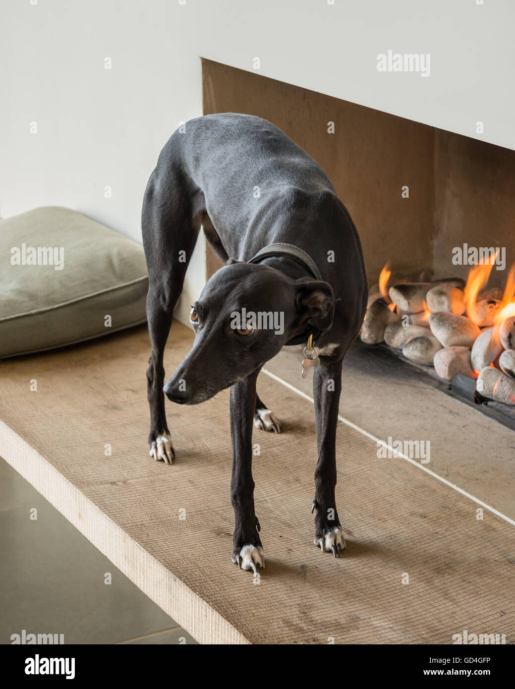 Whippet stands at lit fireside - Stock Image