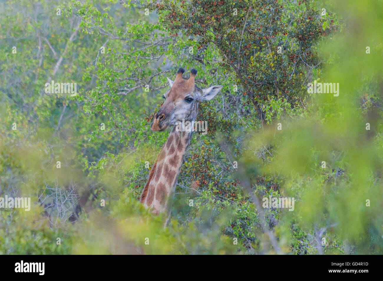 Giraffe sticking its head out from the trees in the bush - Stock Image