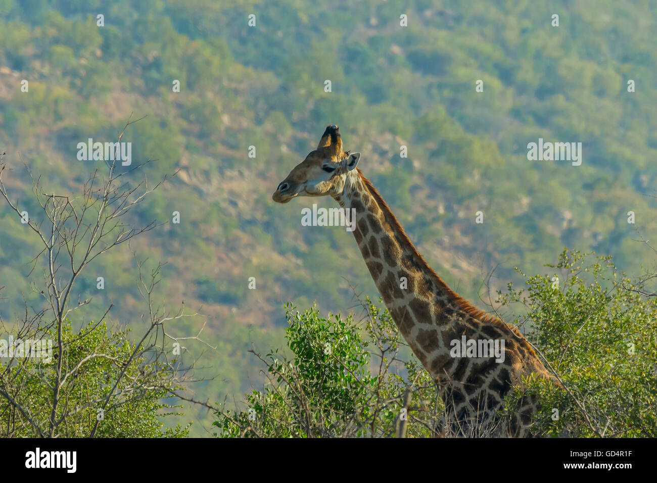 Giraffe sticking its head out from the trees in the bush Stock Photo