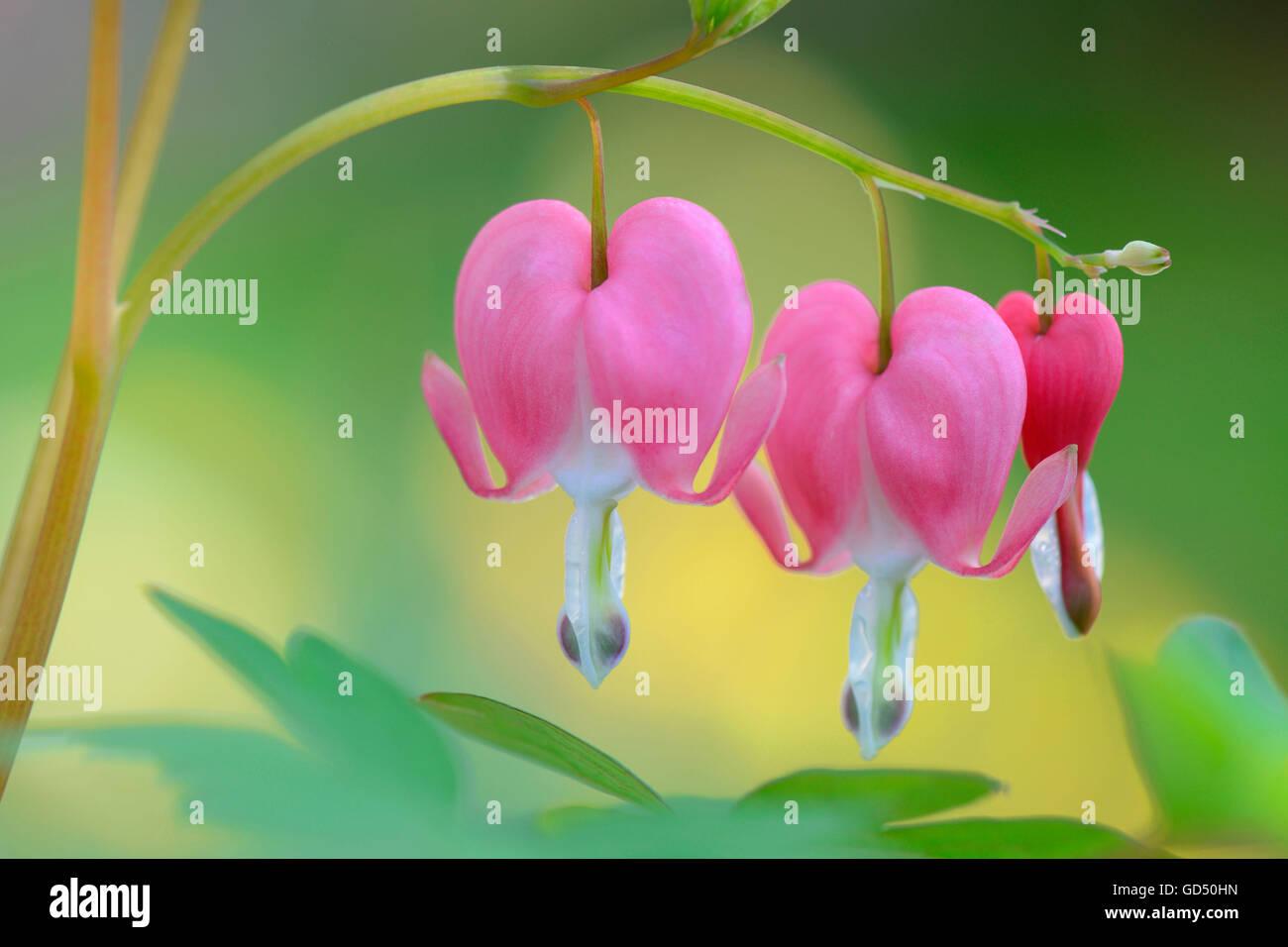 Traenendes Herz / (Dicentra spectabilis), Pflanzen - Stock Image