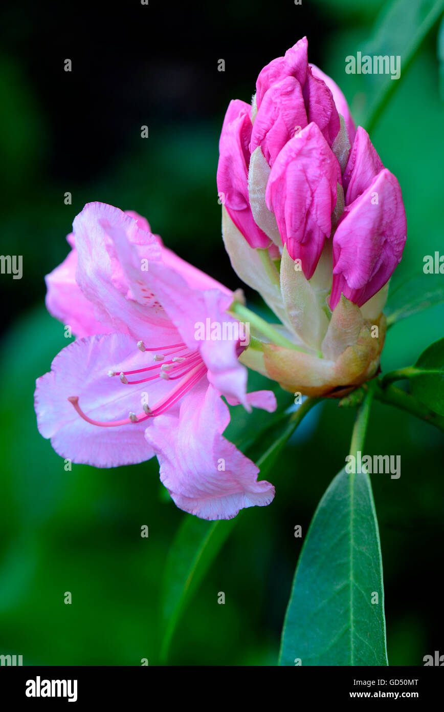 Rhododendron 'Pink Pearl', aufgehende Bluete / (Rhododendron griffithianum hybride) - Stock Image