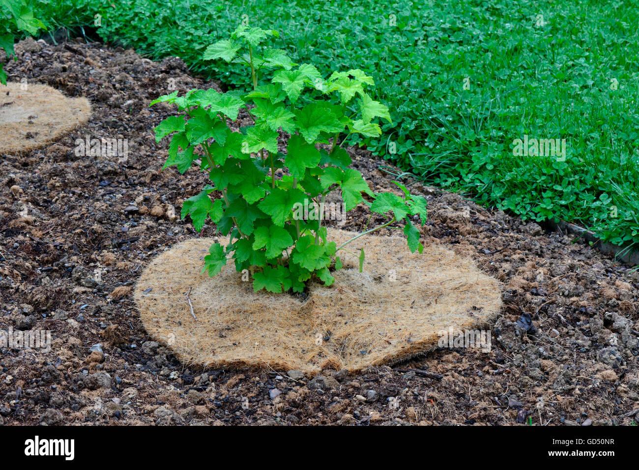 Rote Johannisbeere, Jungpflanze mit Abdeckung, Schutz vor Austrocknung, Sorte Fays Fruchtbare, Fays Prolific, Fays - Stock Image