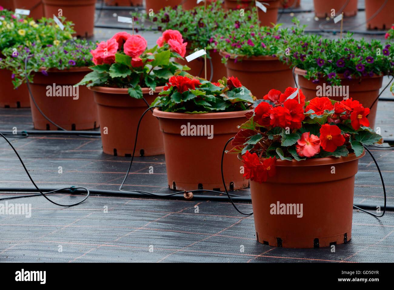 Begonie, Begonien, automatische Bewaesserung von Kuebelpflanzen in Gaertnerei - Stock Image