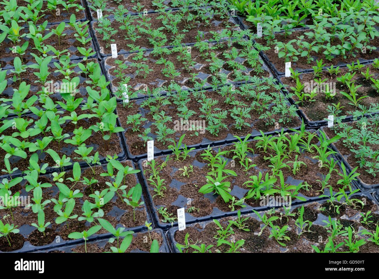 Pflanzenzucht in Gaertnerei - Stock Image