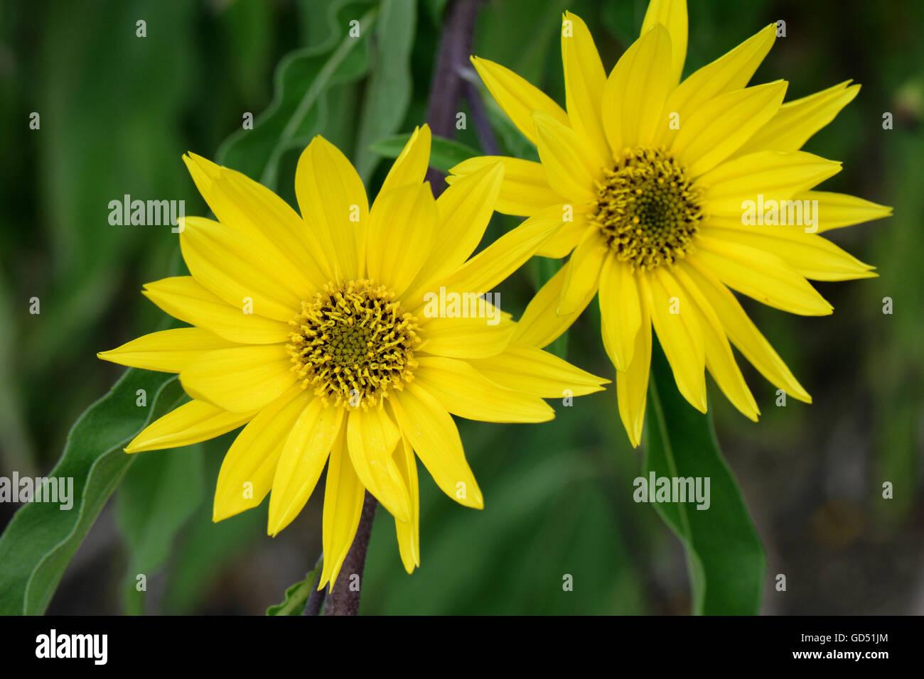 Maximilians Sonnenblume, Helianthus maximiliani - Stock Image