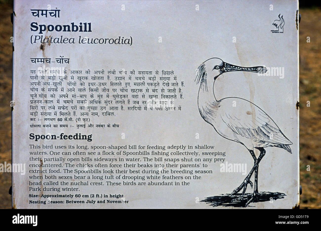 Description of spoonbill - Stock Image