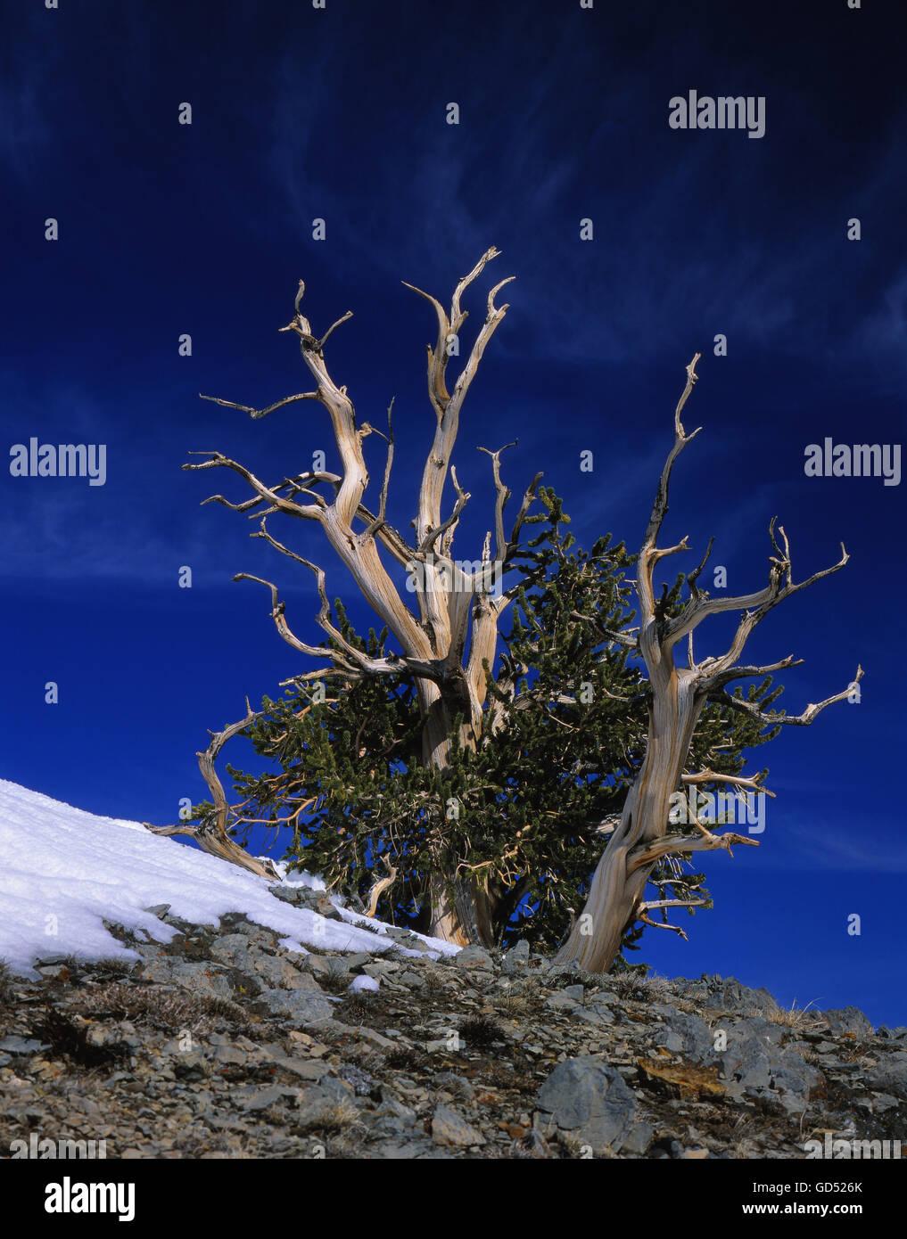 Grannenkiefer, (Pinus aristata) White Mountains, Kalifornien, USA - Stock Image