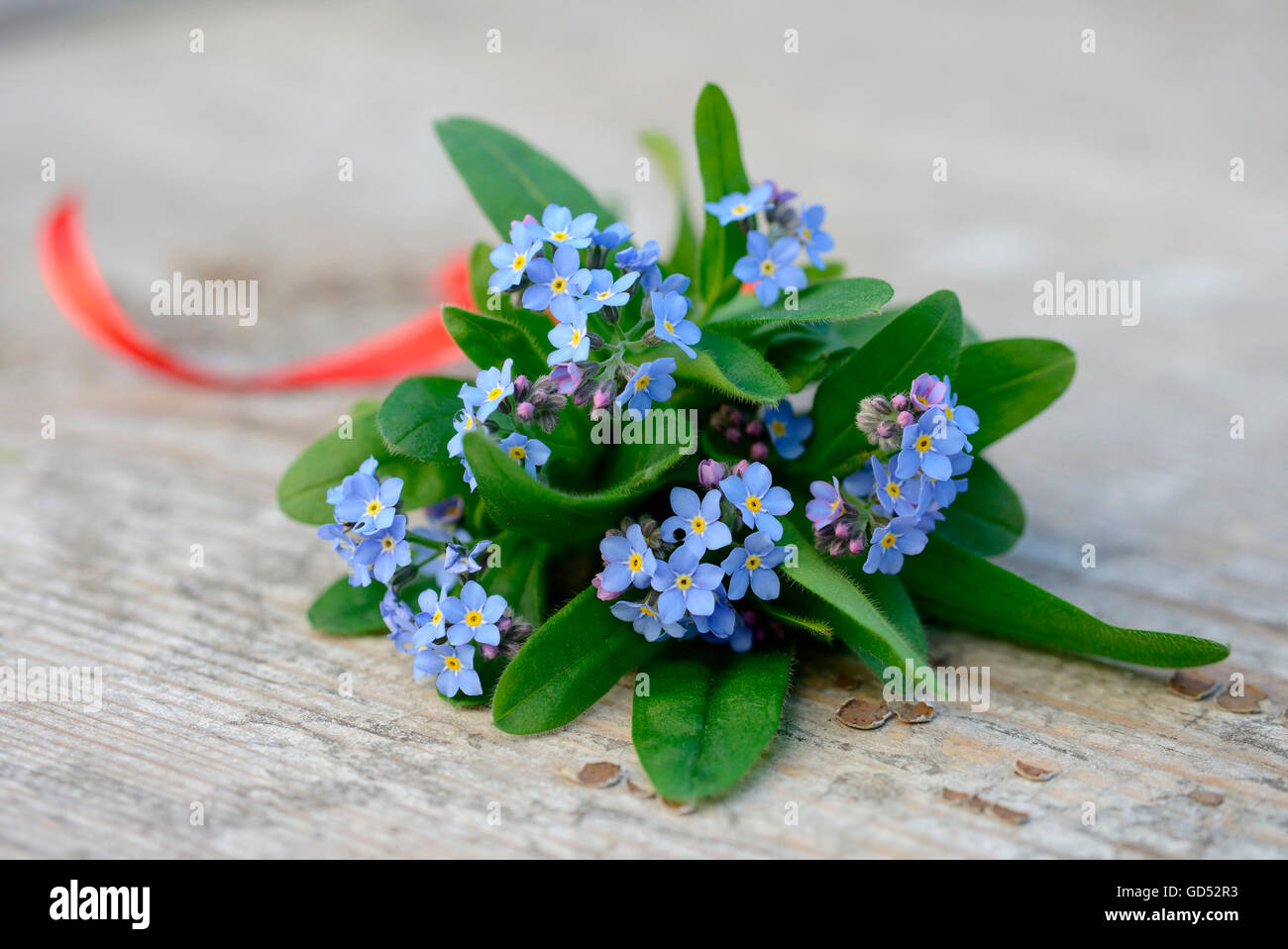 Forgetmenot / (Myosotis spec.) Stock Photo