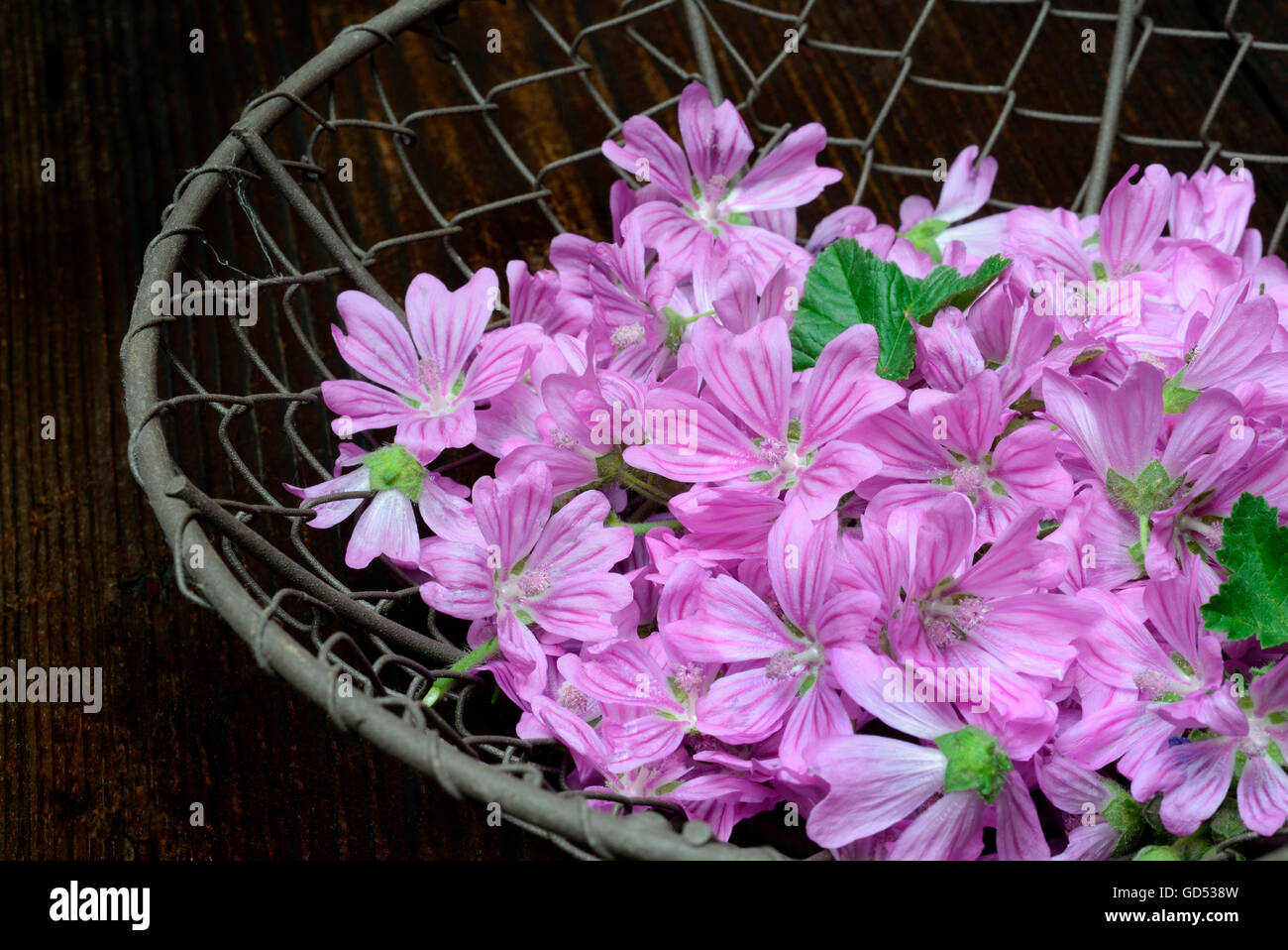 Common Mallow, Malva sylvestris - Stock Image