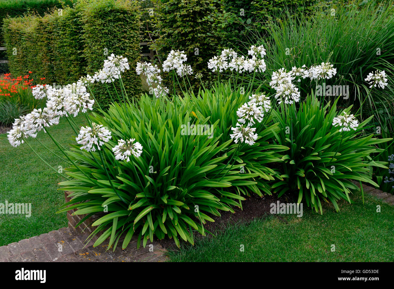 Lily-of-the-Nile, variety Albus / (Agapanthus inapertus) - Stock Image