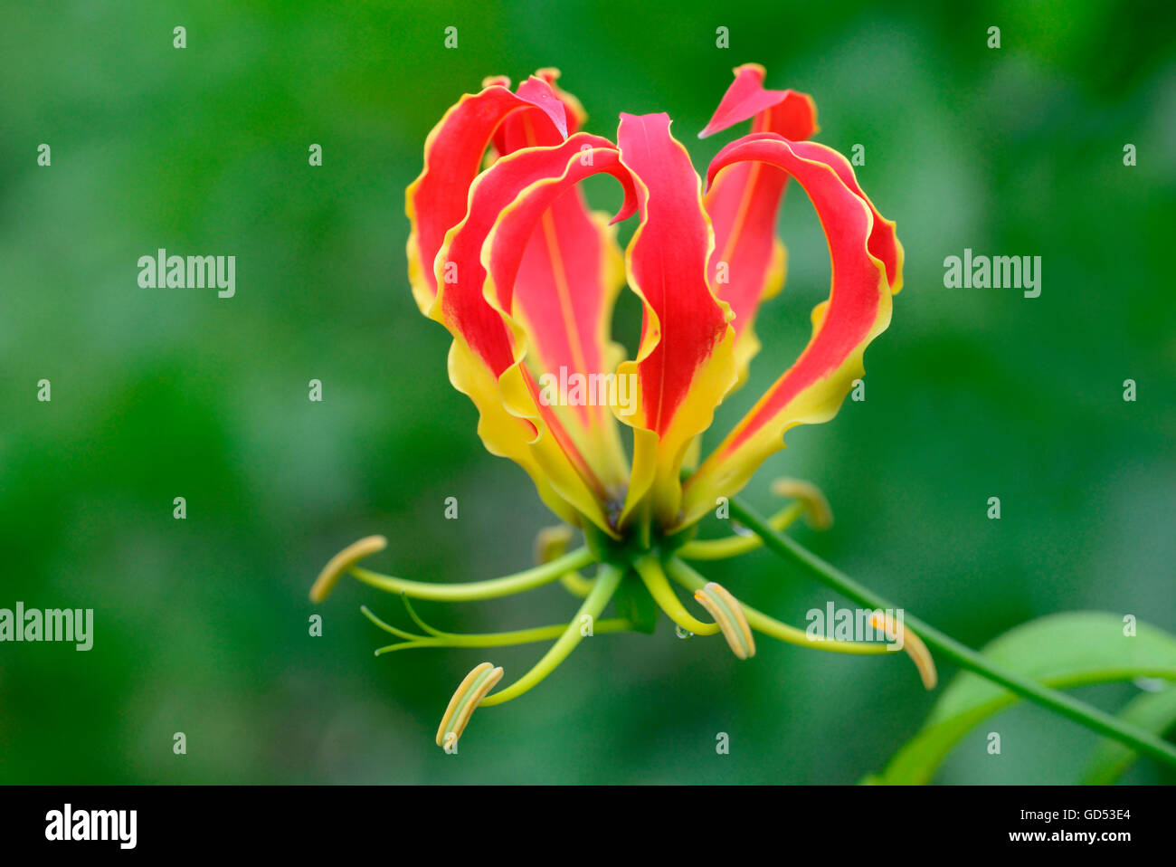 Glory lily gloriosa superba stock photo 111365244 alamy glory lily gloriosa superba izmirmasajfo