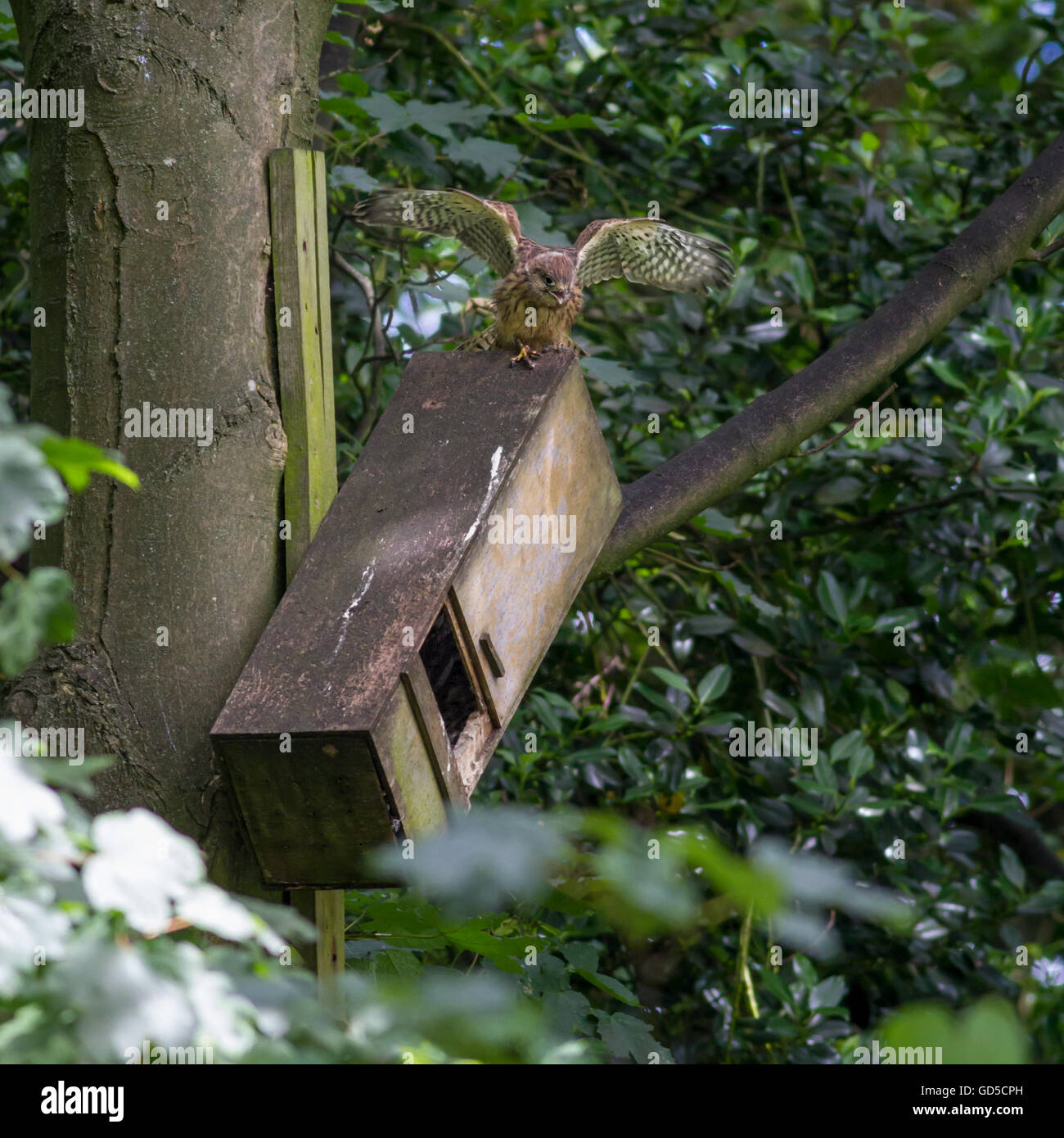 Fledgling kestrel (Falco tinnunculus) exercising its wings on top of its nesting box, learning to fly - Stock Image