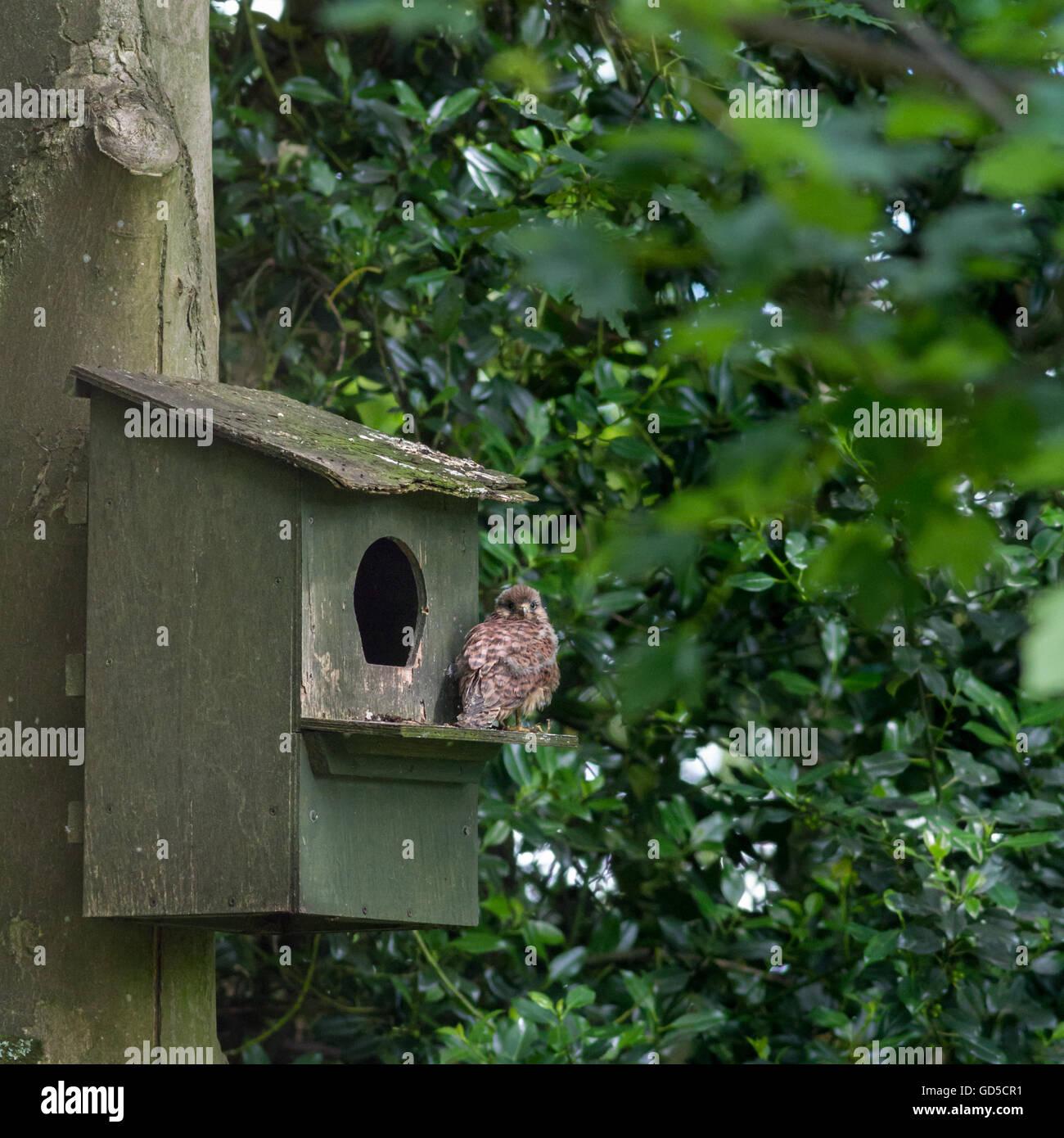 Fledgling kestrel (Falco tinnunculus) perched outside a nesting box - Stock Image