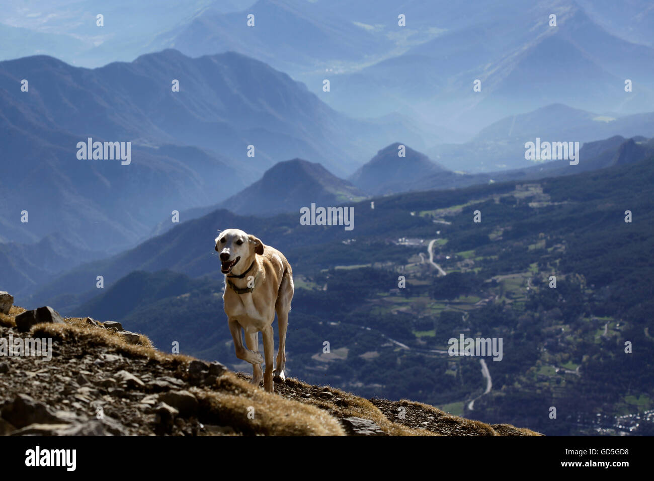A greyhound dog running free since the top of the mountains, Pedraforca mountain, Catalonia, Spain. - Stock Image
