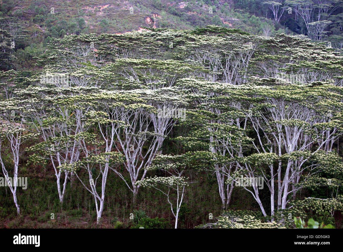 a tropical forest near the city of Dili in the south of East Timor in southeastasia. Stock Photo