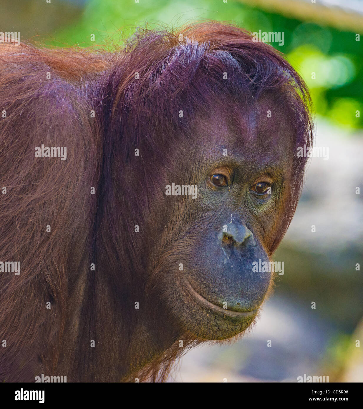Orangutan - Stock Image