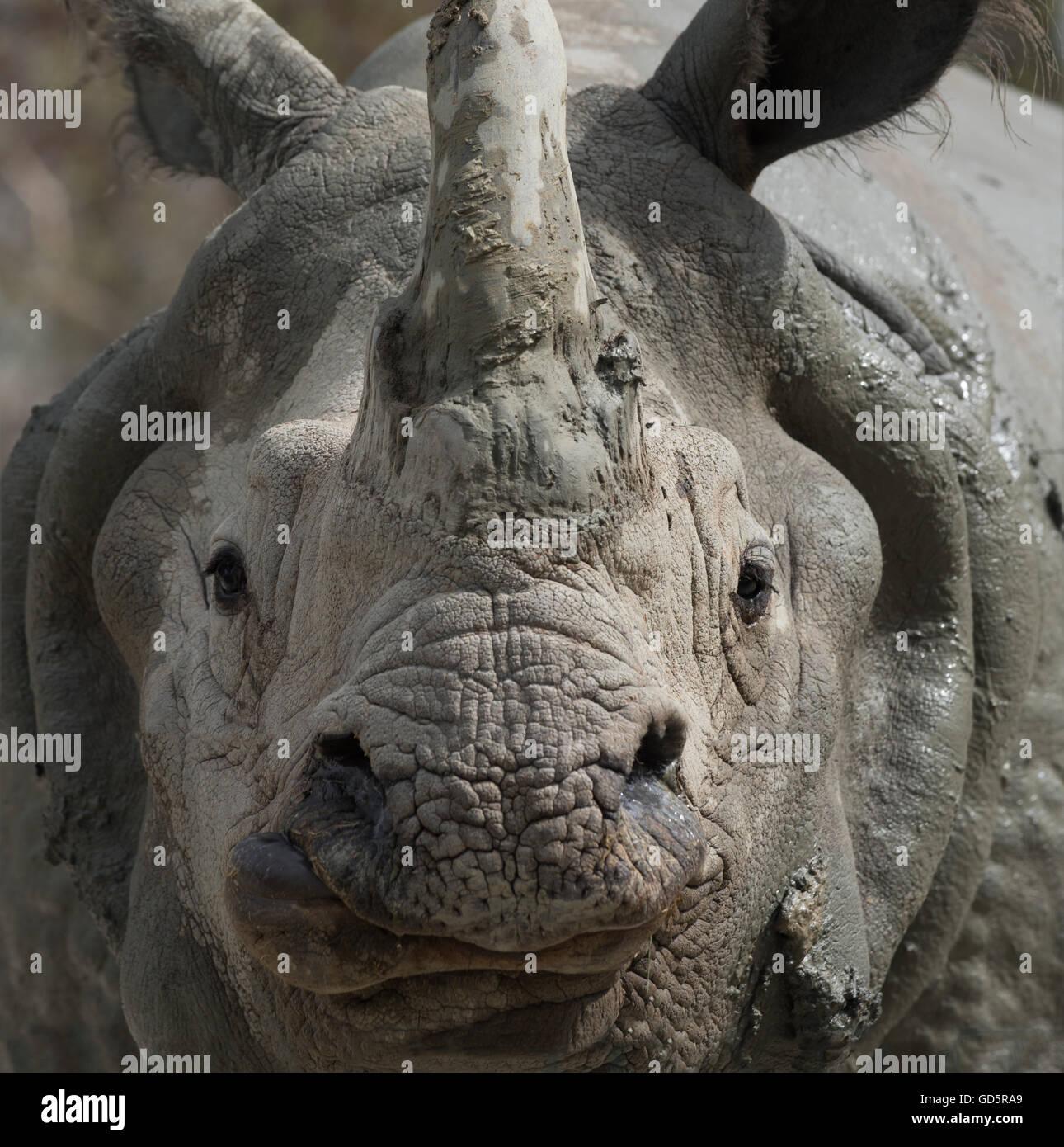 White Rhino close-up series - Stock Image