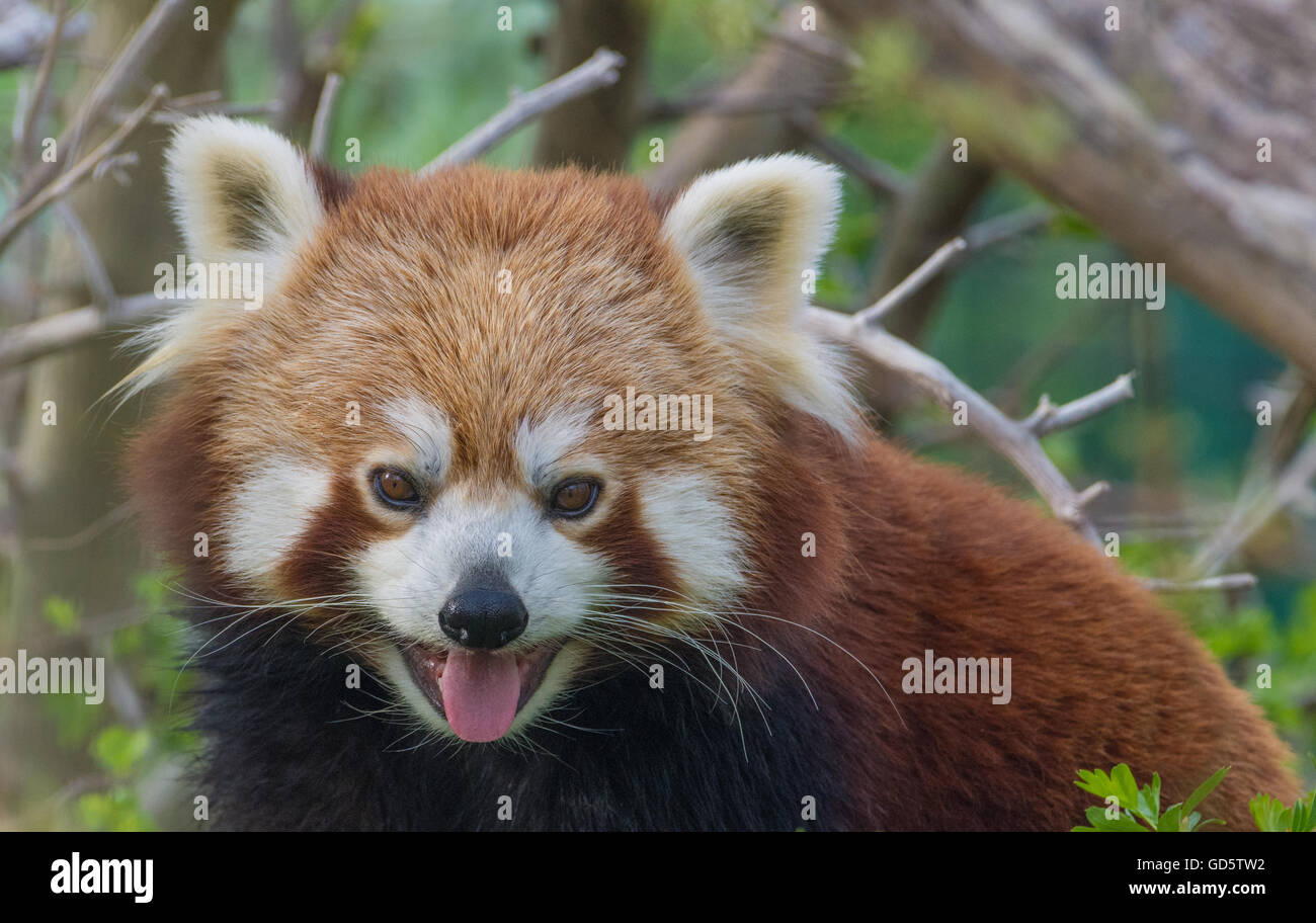 Pantining red panda. Closeup series - Stock Image