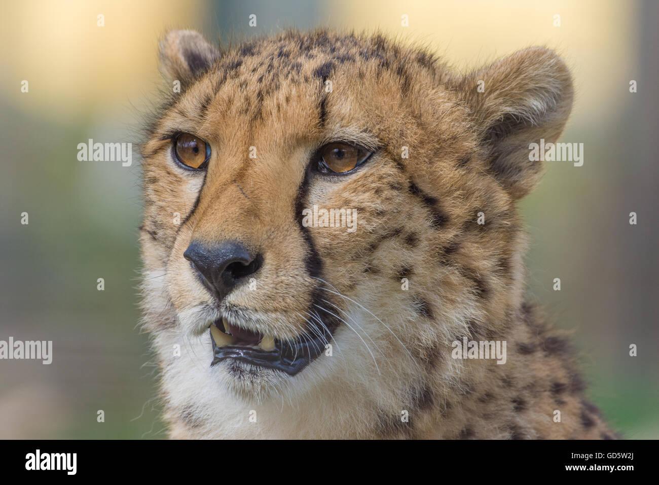 Cheetah closeup series - Stock Image
