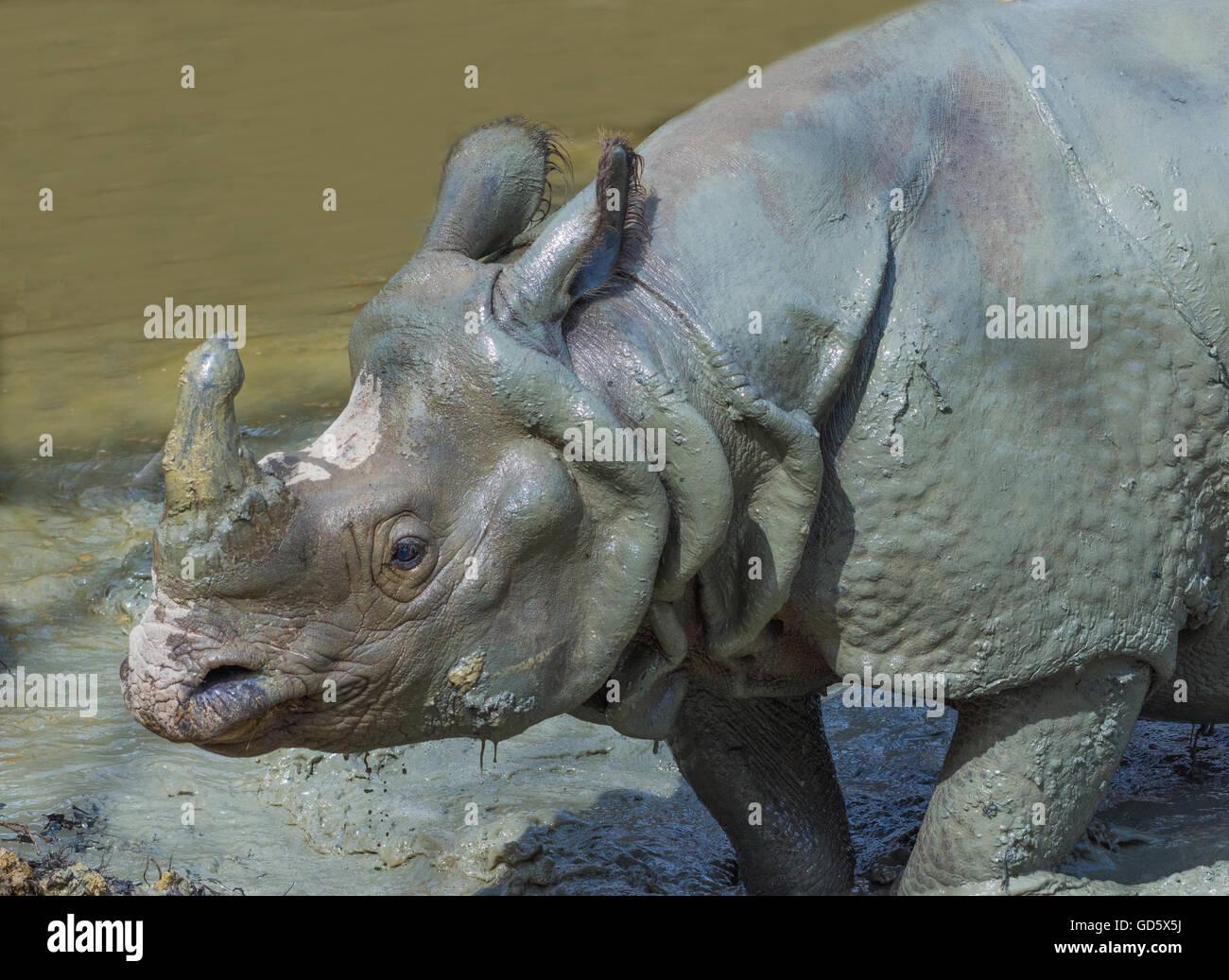 White Rhino close-up, Vienna - Stock Image
