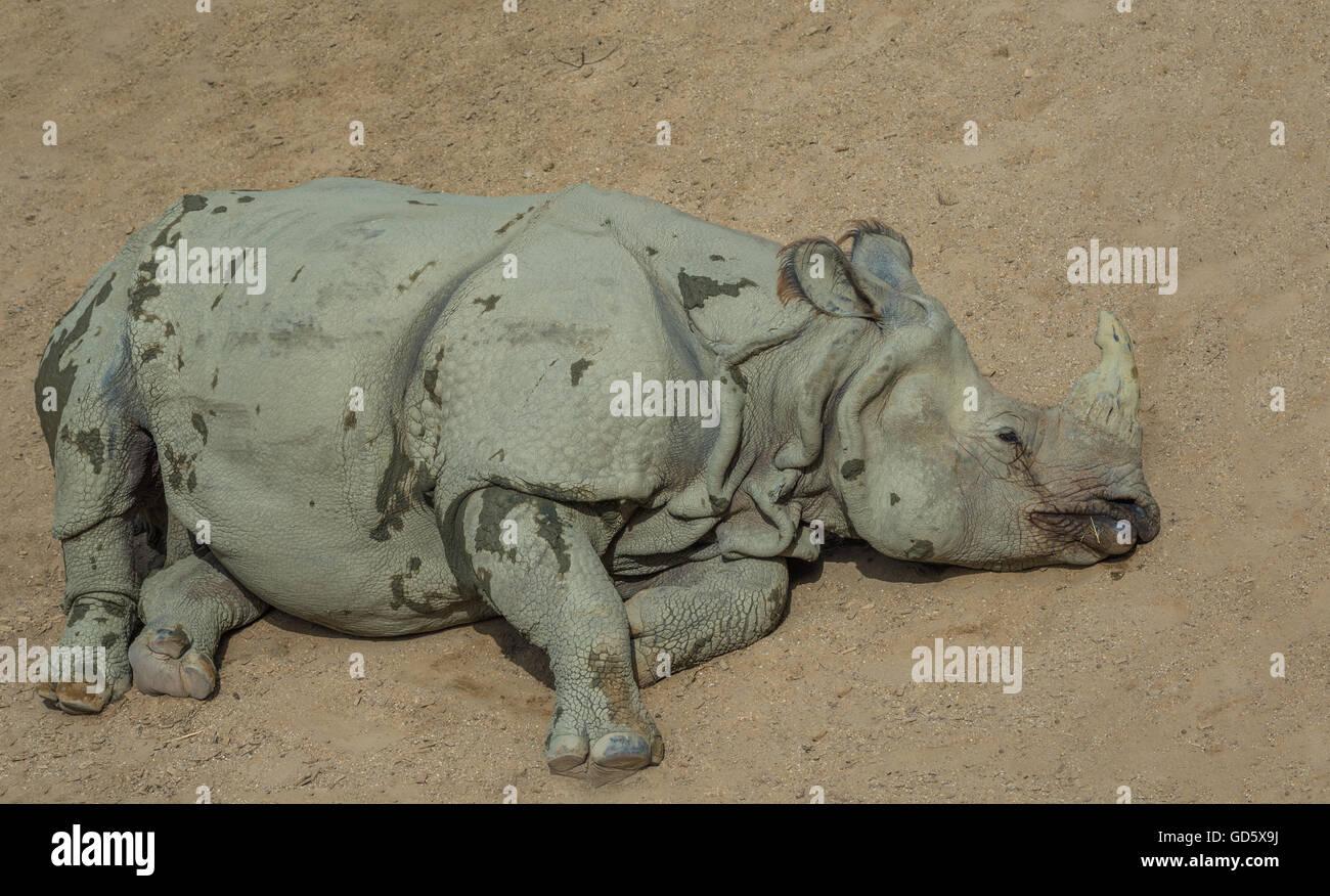 Resting White Rhino - Stock Image