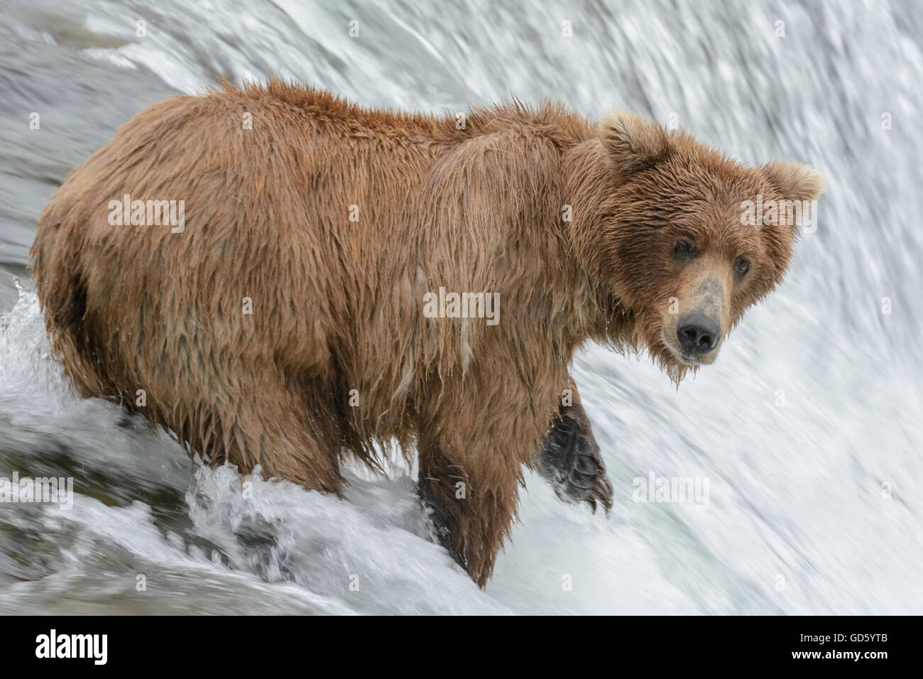 Grizzly bear catching salmon at the top of a waterfall. Brook Falls, Alaska - Stock Image