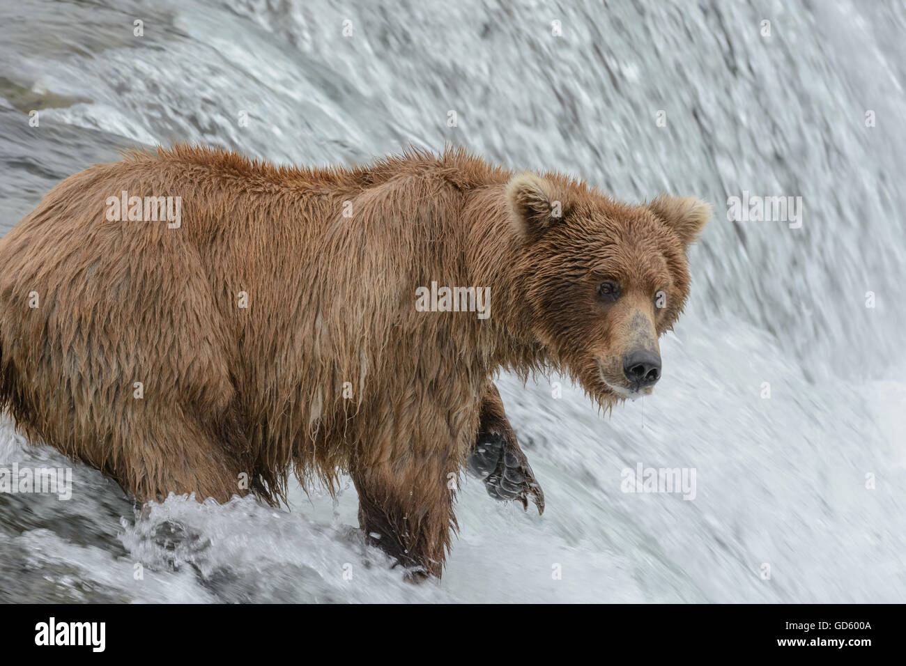 Grizzly bear catching salmon at the top of a waterfall, Brook Falls, Alaska - Stock Image