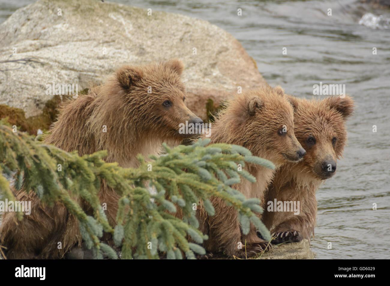 Grizzly bear cubs, Brook Falls, Katmai National Park, Alaska - Stock Image