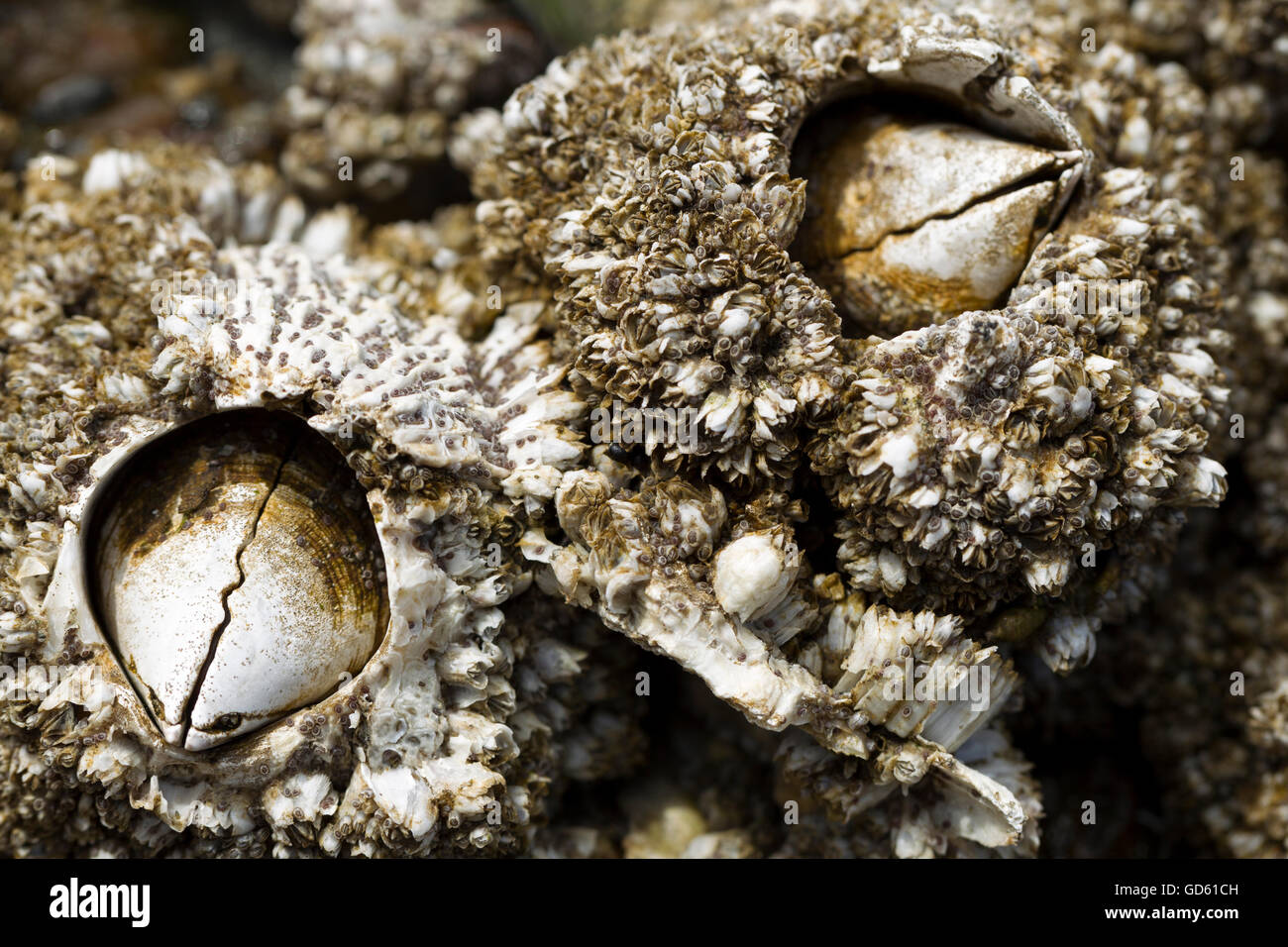 Close up of barnacles. - Stock Image