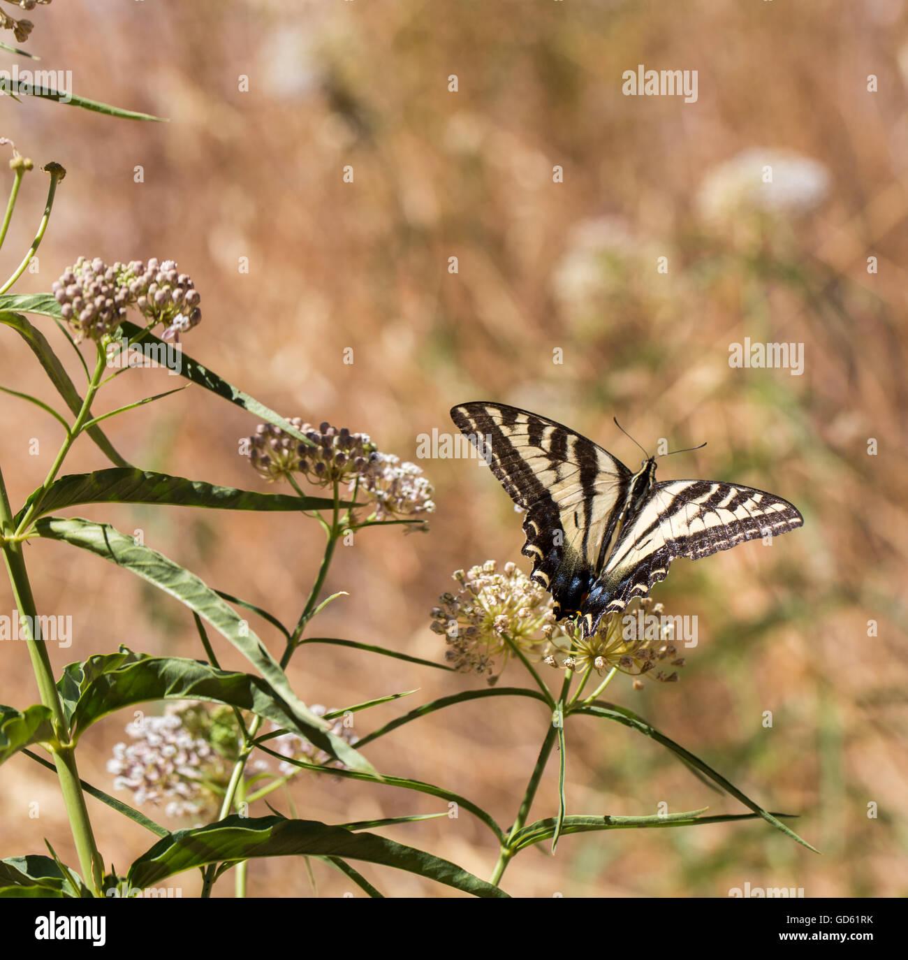 Anise Swallowtail - Papilio zelicaon - feeding off flower nectar - Stock Image