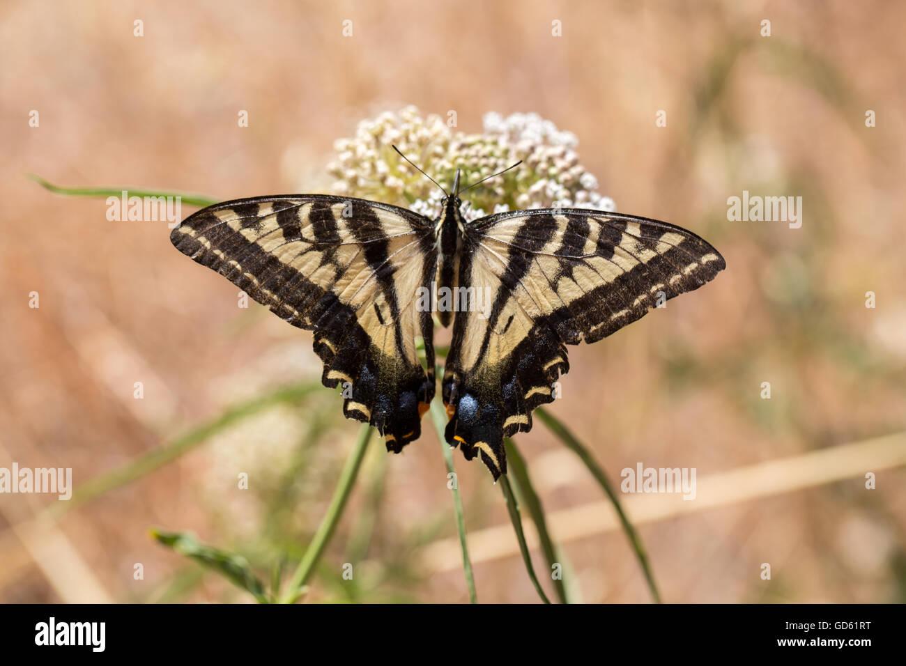 Western Tiger Swallowtail (Papilio rutulus) feeding on milkweed plant. Stock Photo