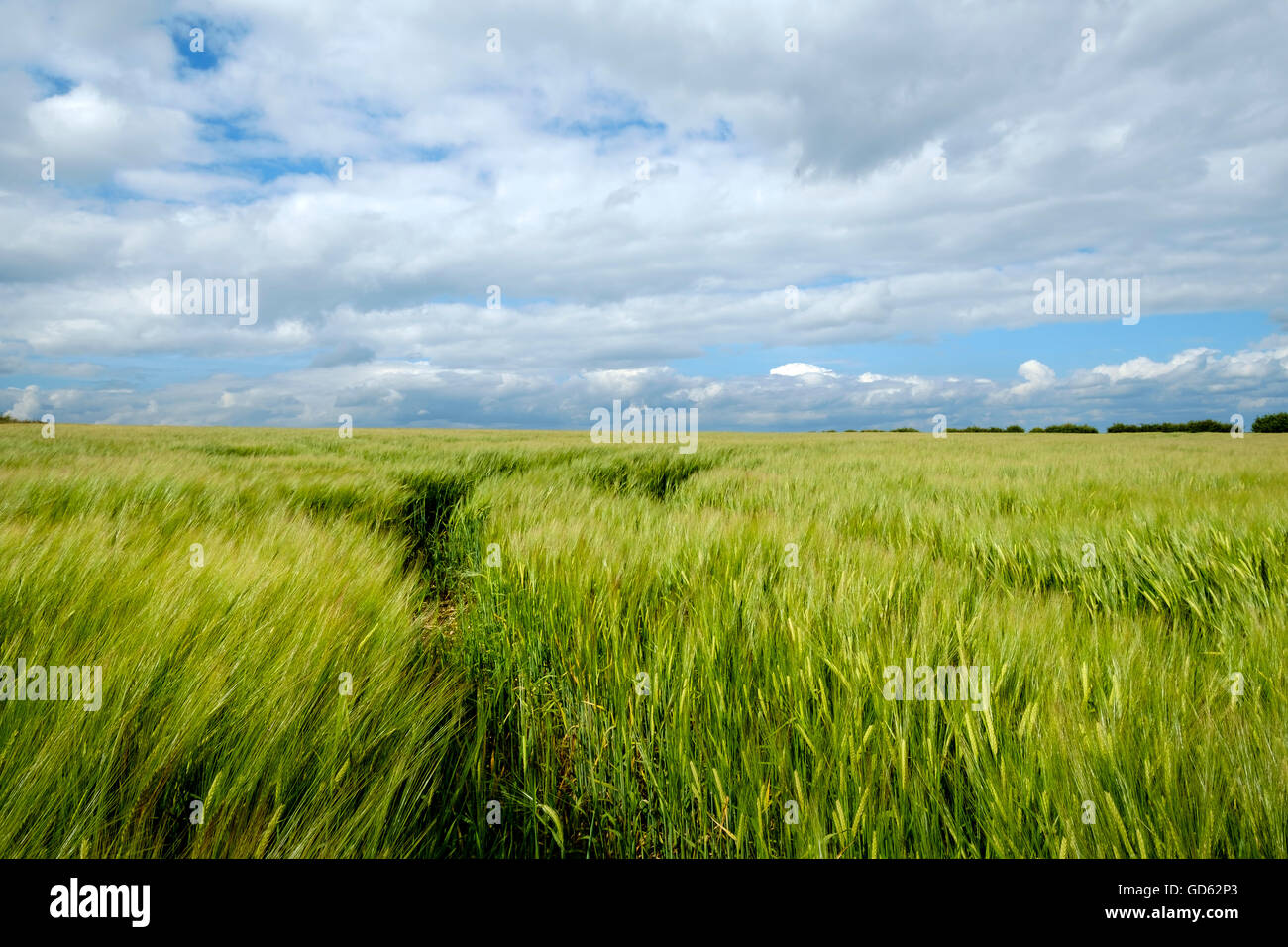 Green barley field in summer East Yorkshire, England - Stock Image