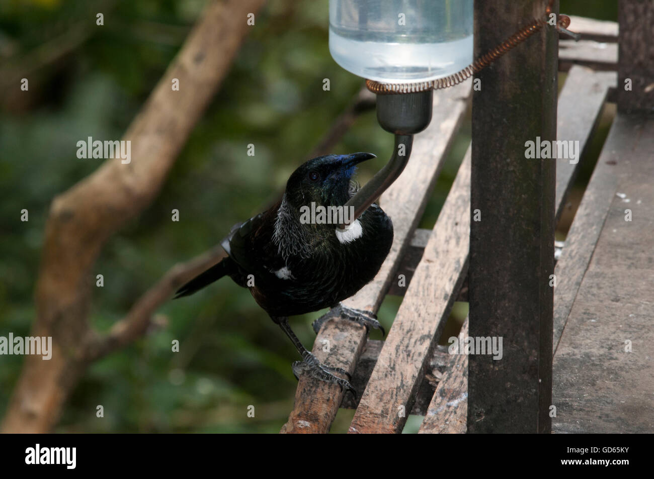 A Tui bird is taking a drink from a feeder in Orokonui Ecosanctuary near Dunedin on the South Island of New Zealand. Stock Photo