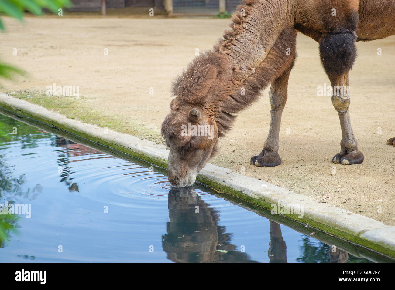 Camel is drinking. Photograph is taken in zoo Frankfurt / M Germany - Stock Image