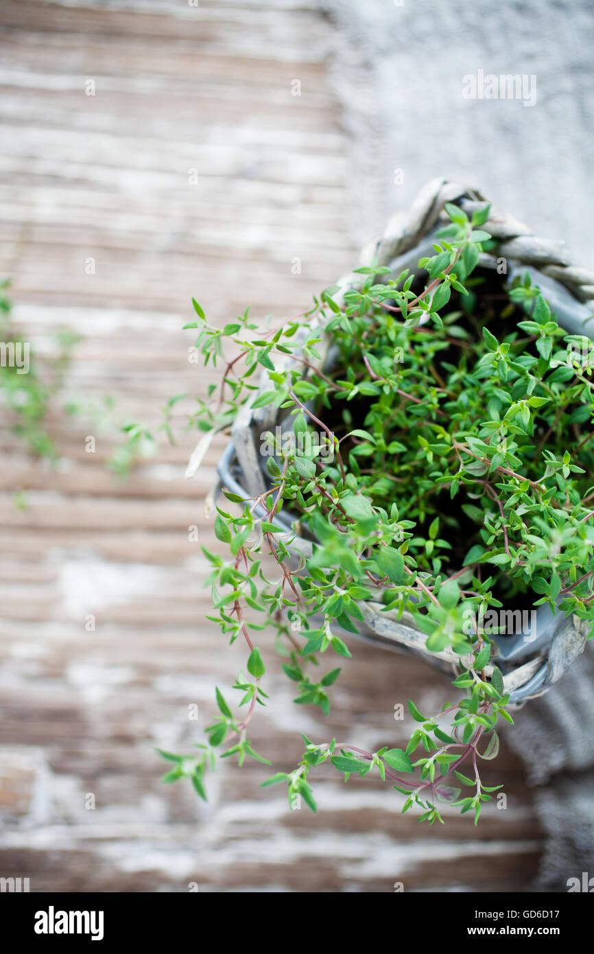 Growing thyme in home garden - Stock Image