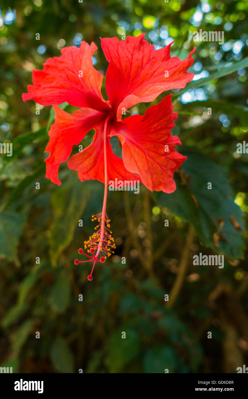 A Red Hibiscus flower (Hibiscus rosa-sinensis) in the rainforest of Quepos, Puntarenas Province, Costa Rica, Central - Stock Image