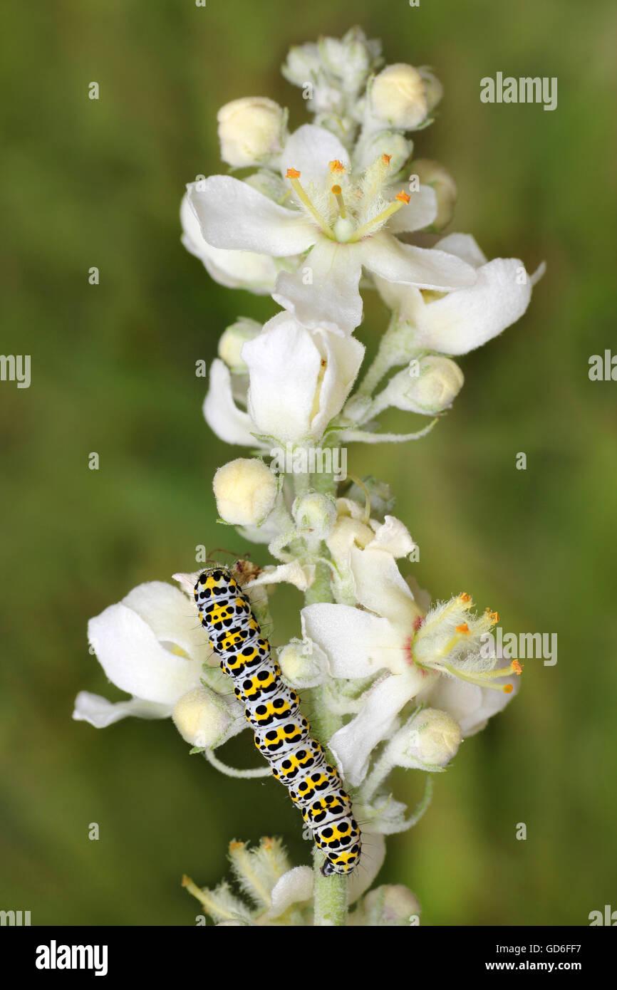 Caterpillar of the Mullein Moth Cucullia verbasci on White Mullein Verbascum lychnitis - Stock Image
