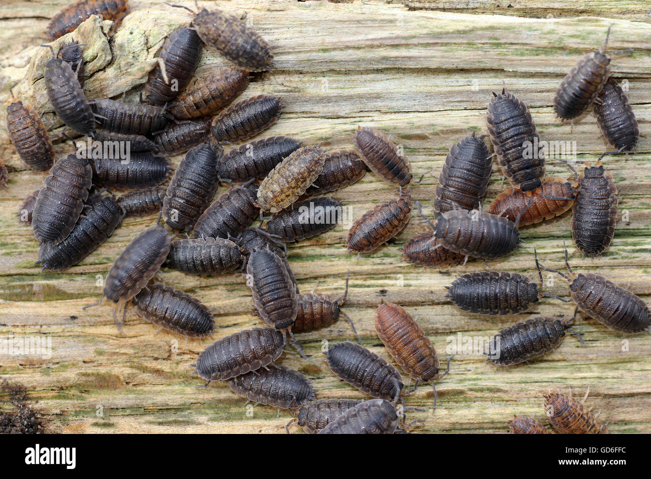 Common Striped Woodlouse Philoscia muscorum and Common Shiny Woodlouse Oniscus asellus - Stock Image