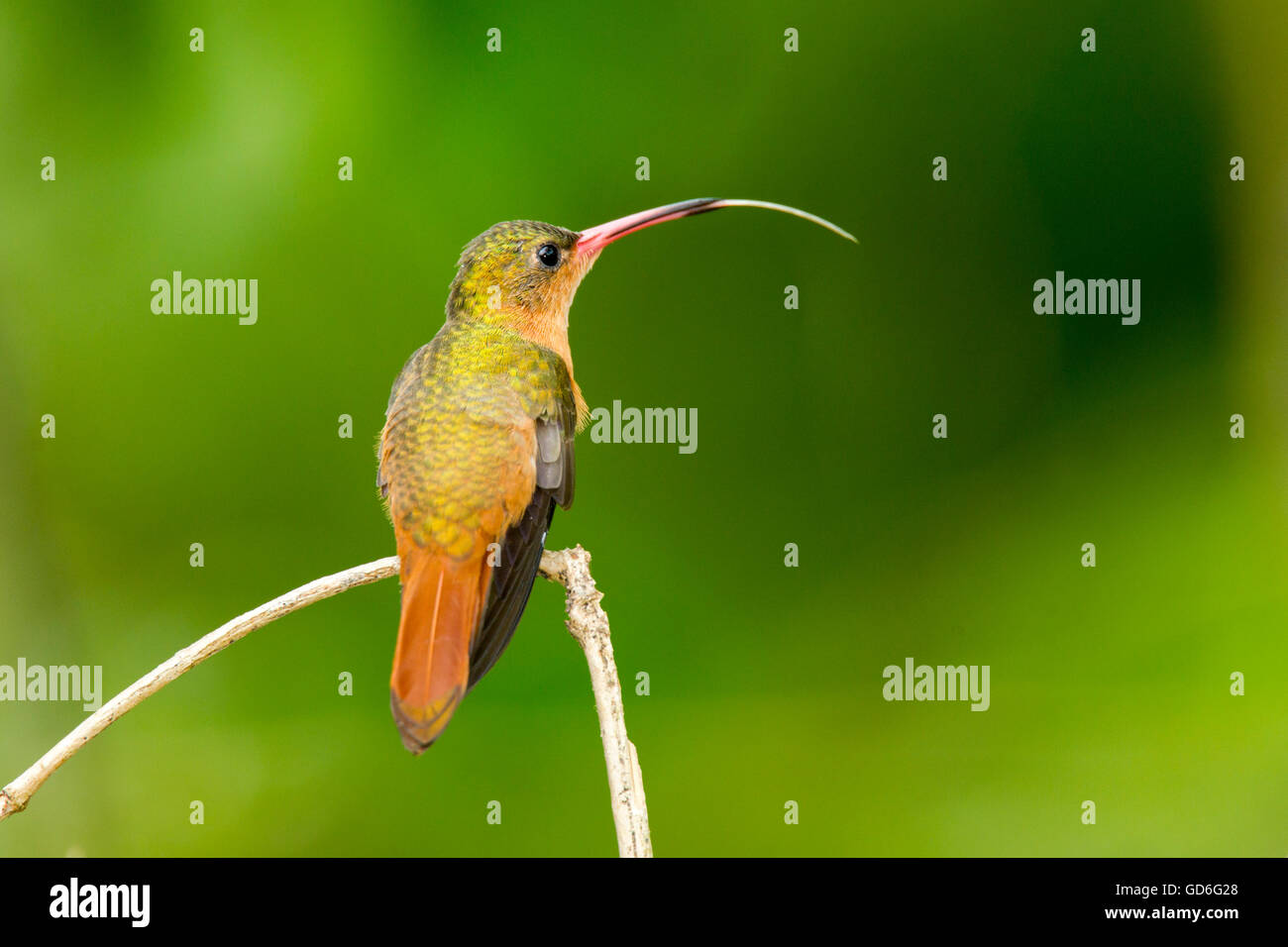 Cinnamon Hummingbird  Amazilia rutila  La Bajada, Nayarit, Mexico  8 June      Adult with tongue extended.      - Stock Image