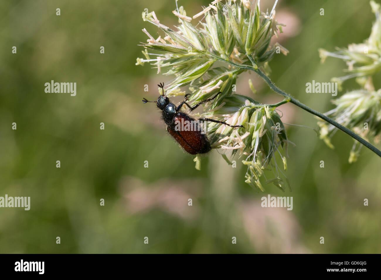 Gartenlaubkäfer an einer Pflanze  Garden chafer on a plant - Stock Image