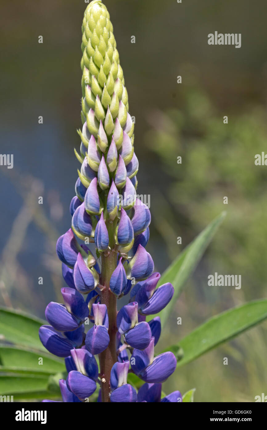 Lila Vielblättrige Lupine im Frühling  Purple Garden Lupin in spring - Stock Image
