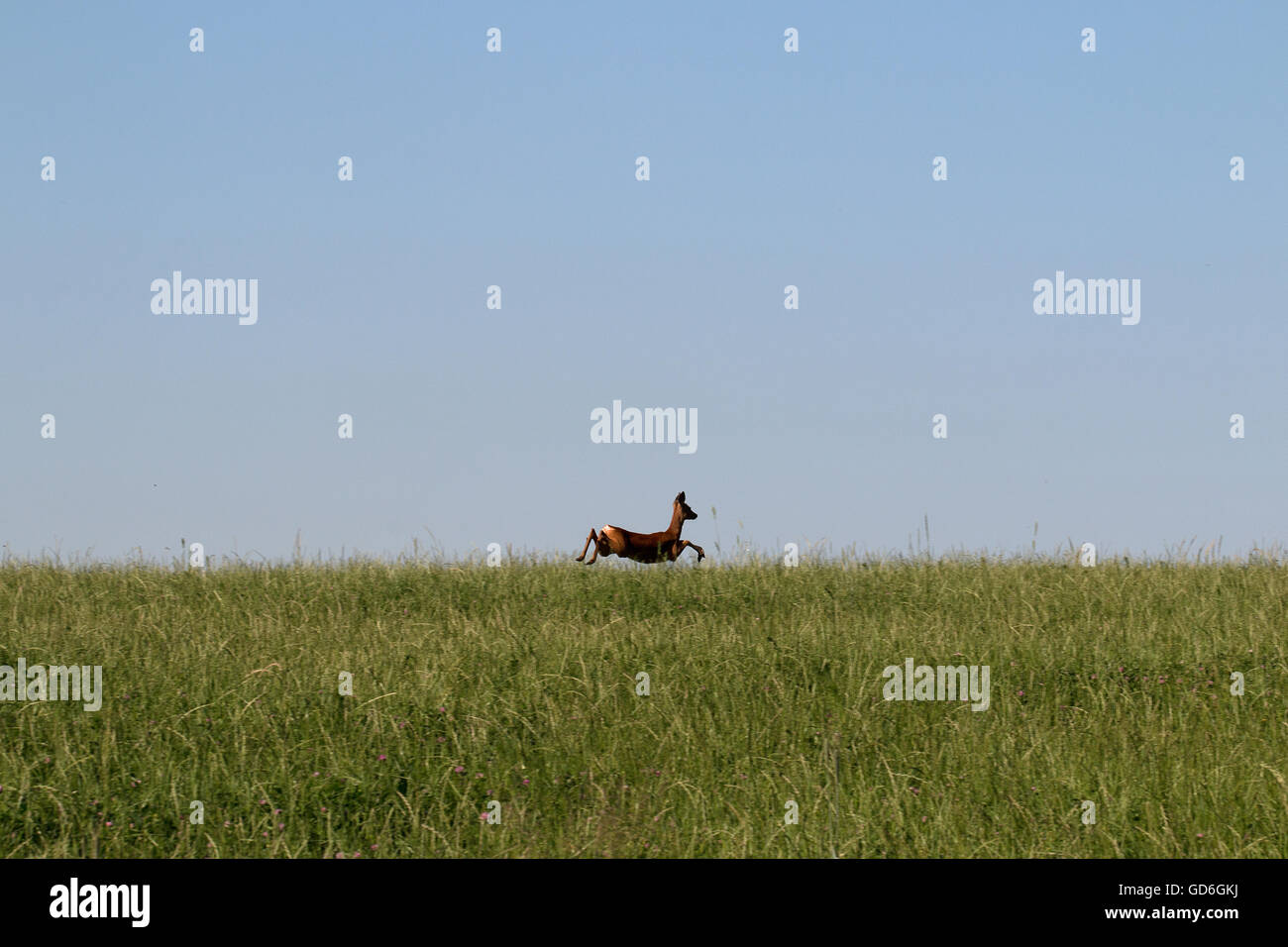 Reh springt über eine Wiese  Deer jumping over a meadow - Stock Image