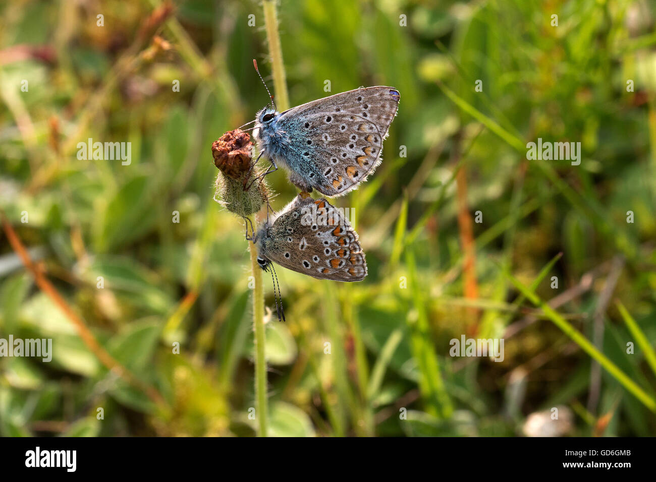 Zwei Hauhechel-Bläuling bei der Paarung im Frühling  Two Common Blue during mating in spring - Stock Image