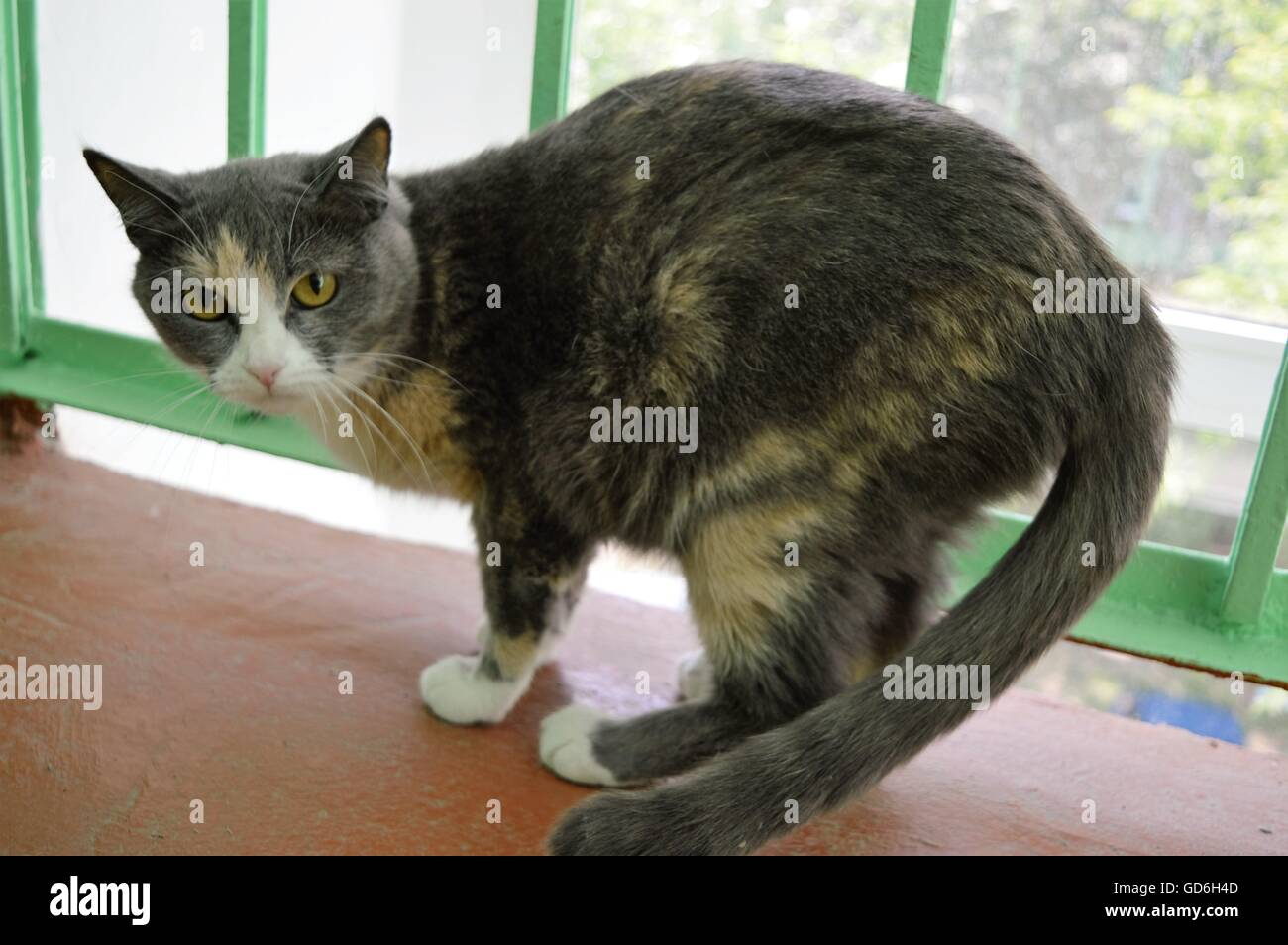 Dissatisfied gray cat - Stock Image