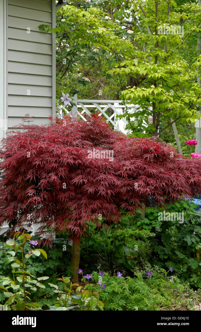 Acer Palmatum dissectum,EVER RED,Red Japanese Maple, - Stock Image