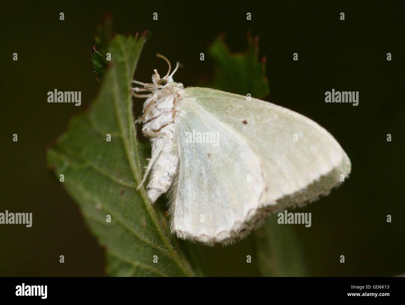 European Blotched Emerald Moth (Comibaena bajularia) - Stock Image