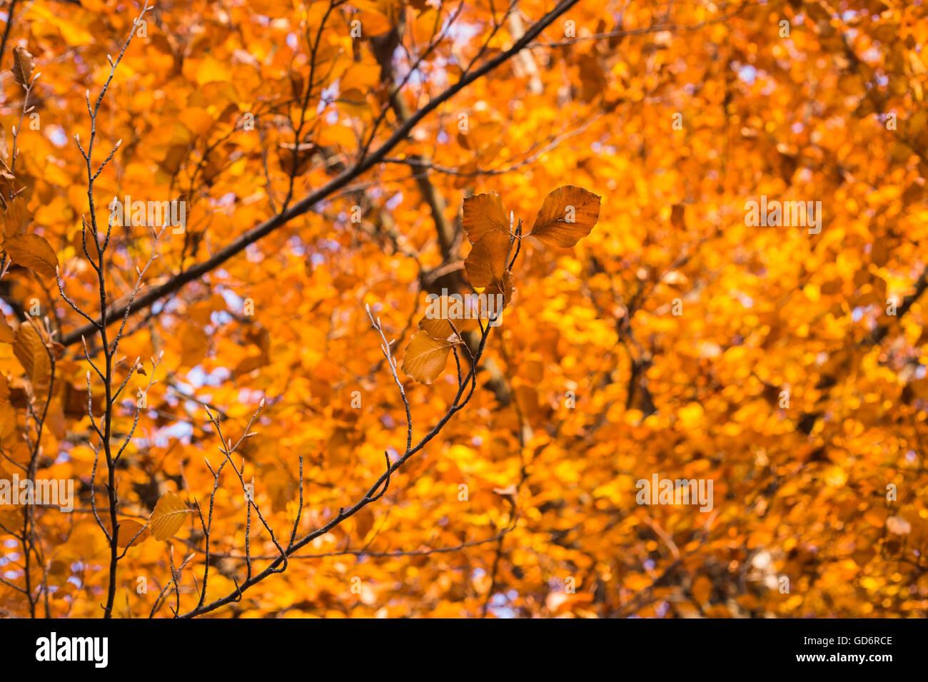 Colorful autumn tree - Stock Image