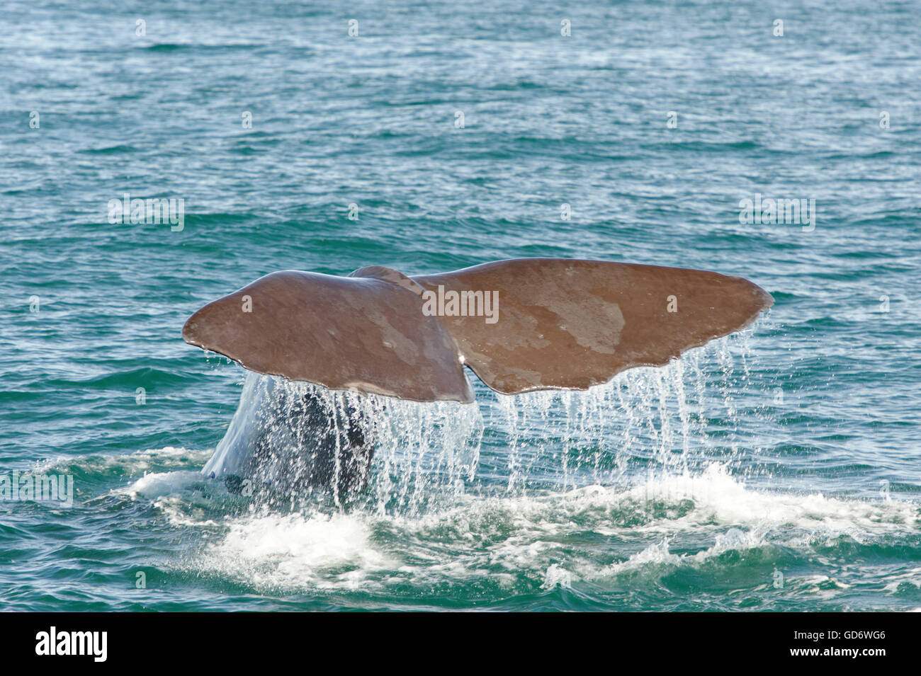Sperm whale diving to hunt for giant squid off the Kaikoura Coast, South Island, New Zealand. - Stock Image