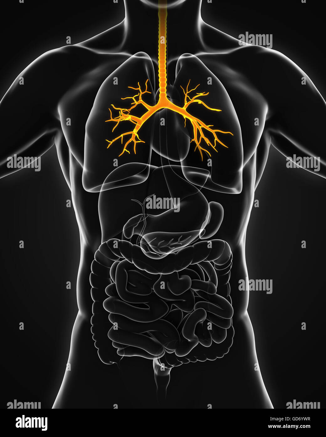 Human Lung Bronchi Stock Photos Human Lung Bronchi Stock Images